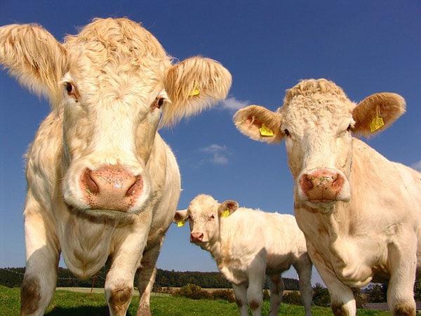 cows 1029077 640